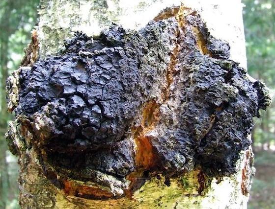 inonotus obliquus2