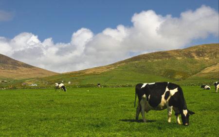 ireland_cows