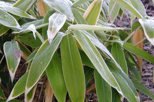 Sasa-palmata-winter