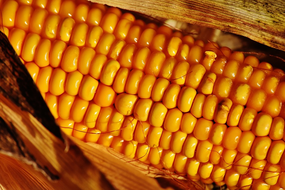 Summer Vegetables Corn On The Cob Corn Food Plant