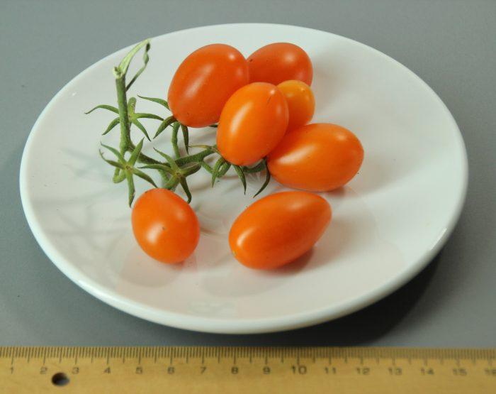 tomate santorange f1 01 (fcm)