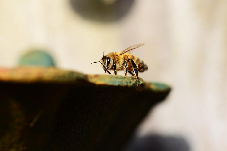 wings honey bee buckfast insect honey water bee