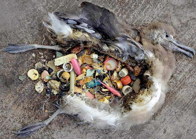 albatross-plastic-poison-oceans-pacific-gyre-dead-chicks