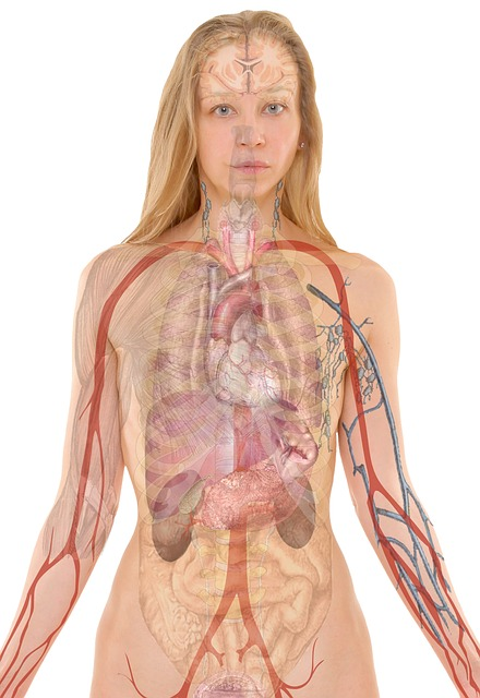 anatomy-254120_640