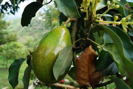 avocado-2192116_640