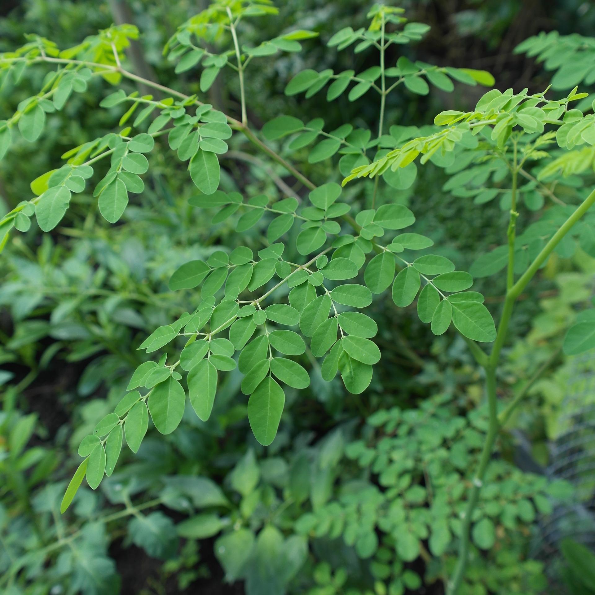 モリンガ 葉