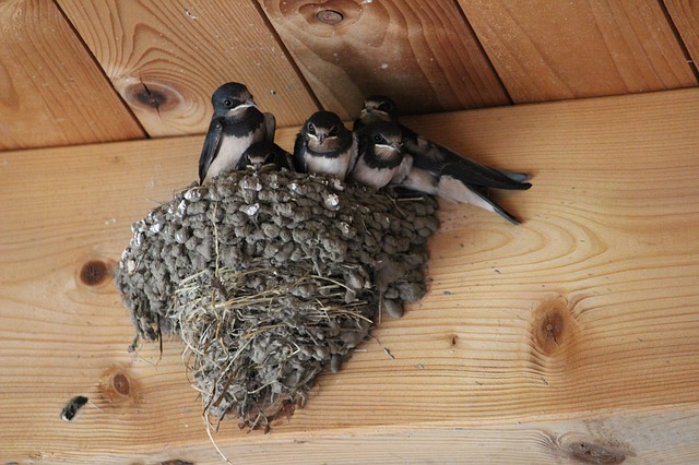 barn swallows 2461911 640