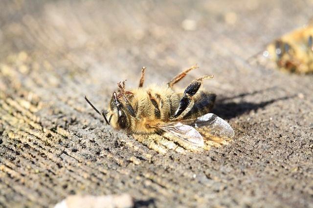 ミツバチの死骸
