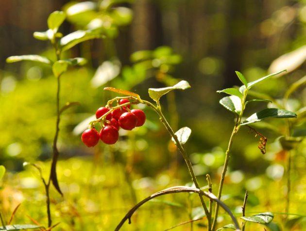 berry-71704_960_720