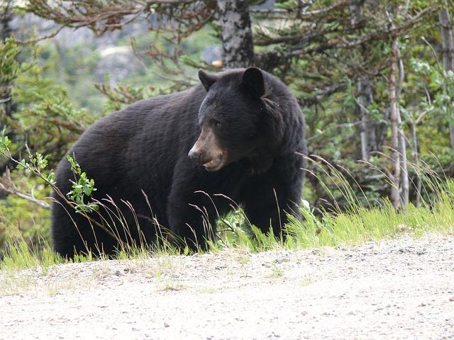 black-bear-2324705_640