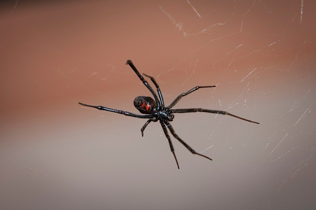 black widow spider 2042047 640