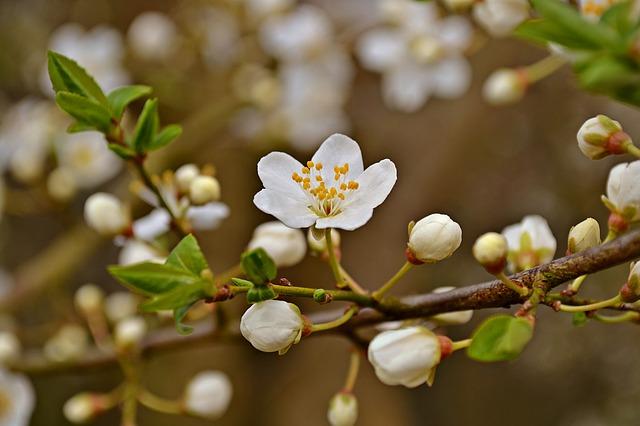 blossom-1291188_640