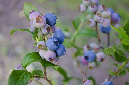 blueberries-1674385__340