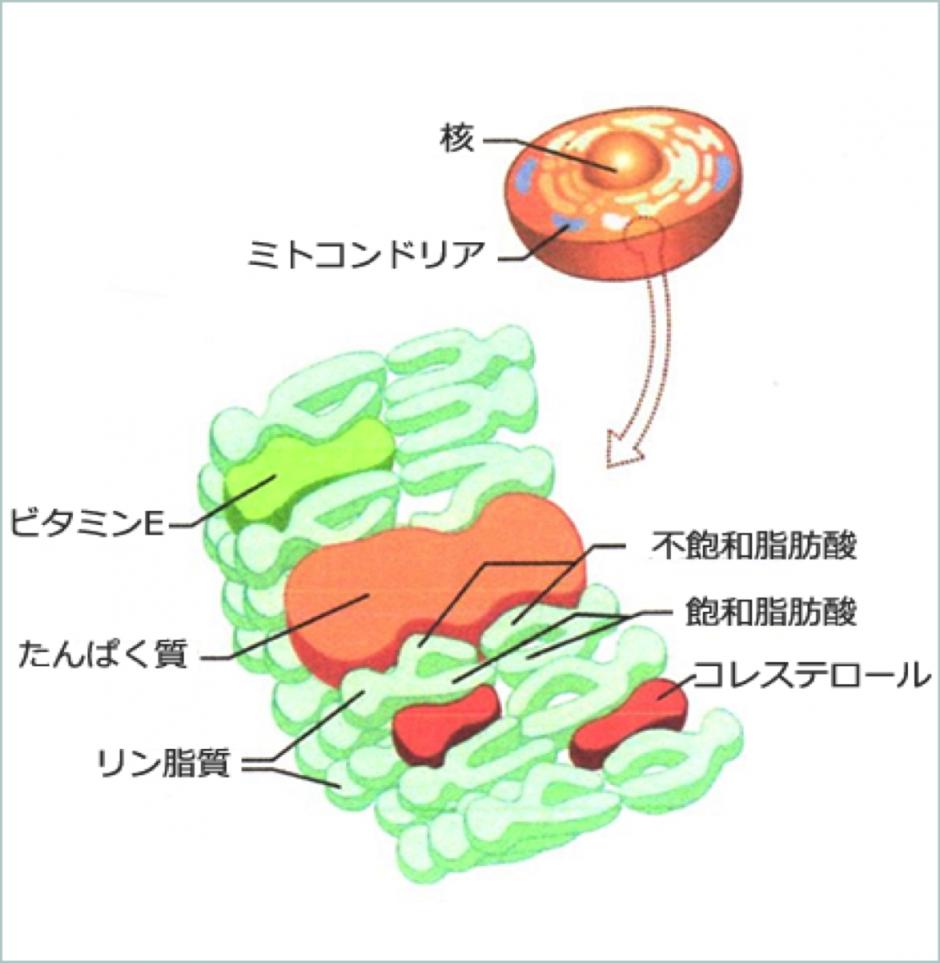 細胞膜構成