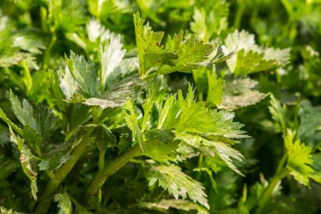celery-753293_640