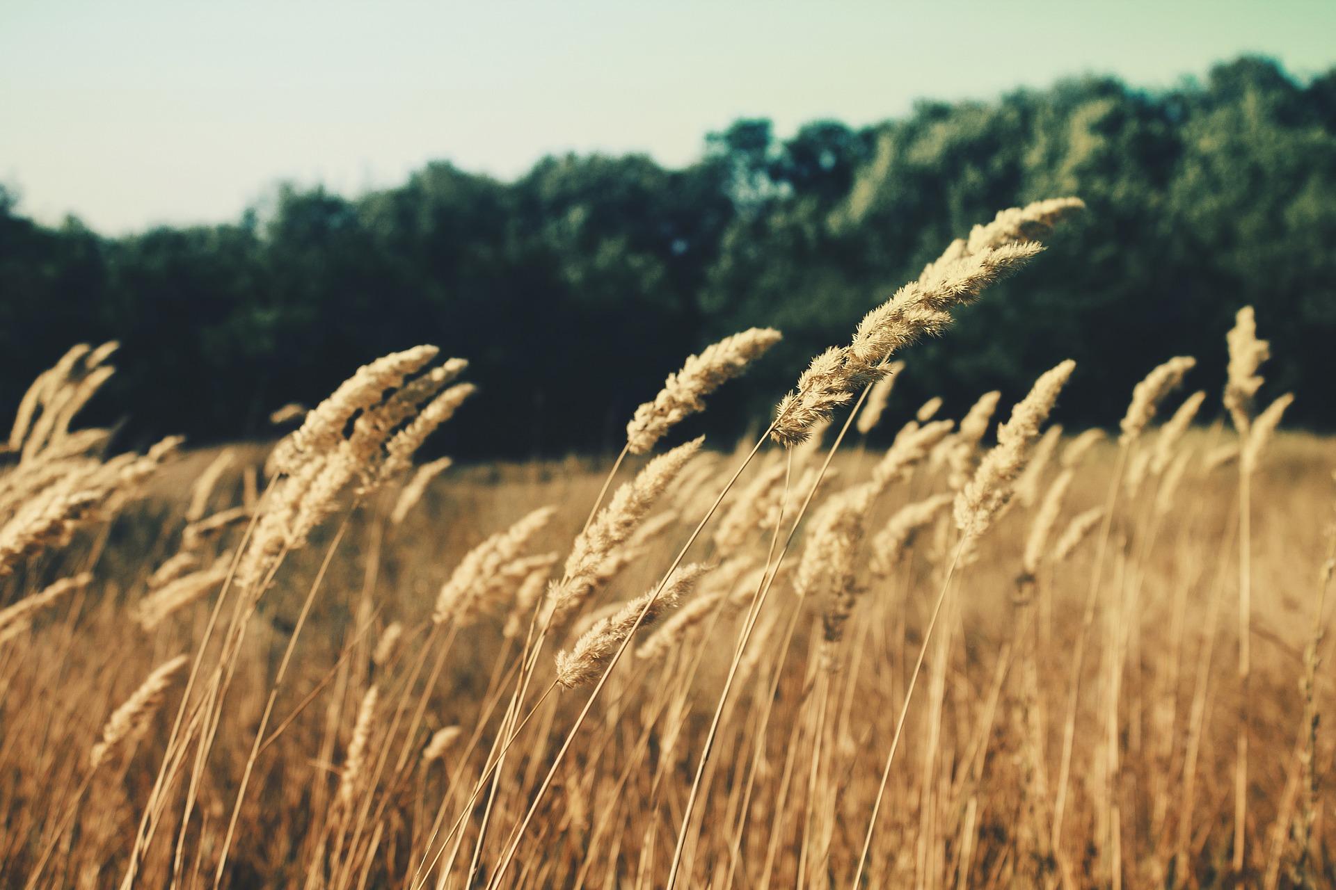 グレイン 大麦