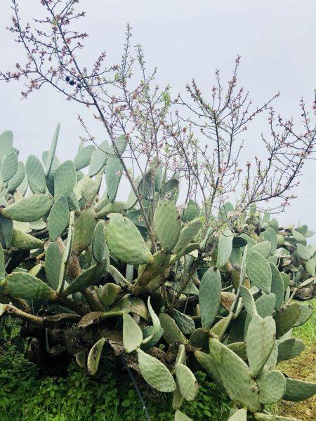 サボテンとアーモンドの花