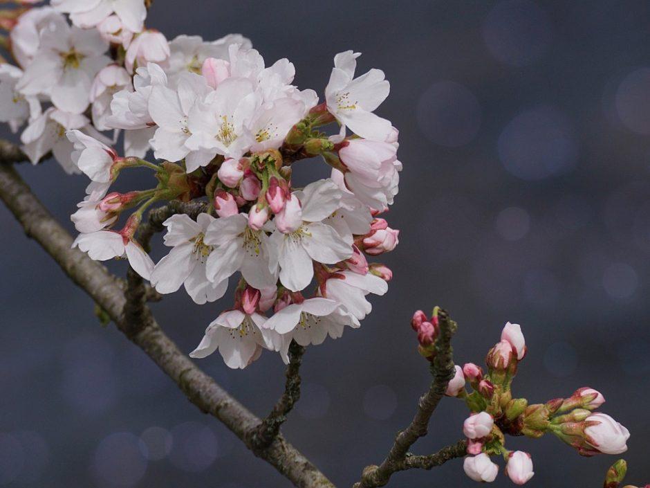 cherry-blossom-3291231_960_720
