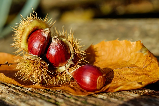 chestnut-1784282_640