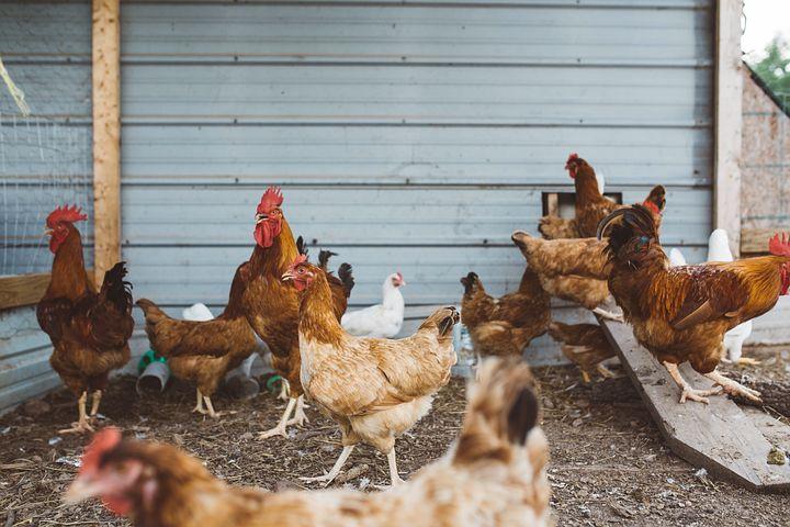 chicken-918418__480