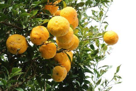 citron-1241690_640