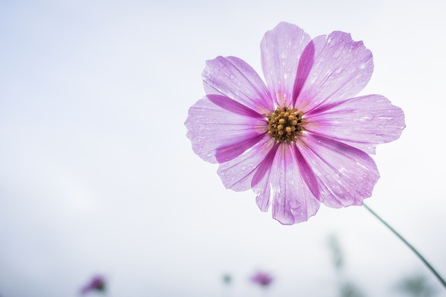 cosmos-flower-1712177_640
