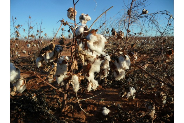 枯葉剤が撒かれた綿花