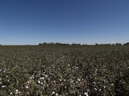 cotton-farm-image-no-pesticide