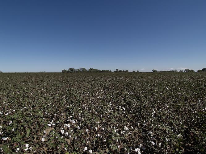 cotton-farm-image-no-pesticide