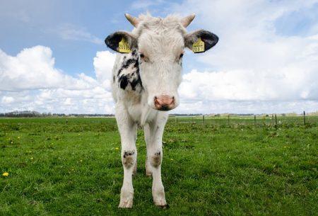 cow-1365341_640