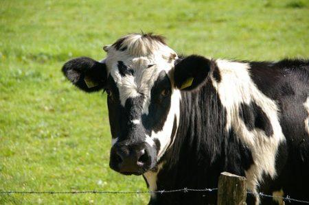 cow-234835__340