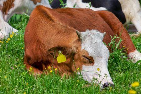 cow-3394868__340