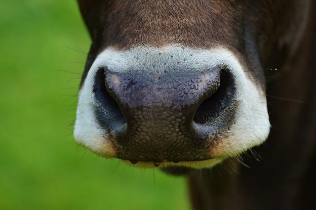 cow-982155_640