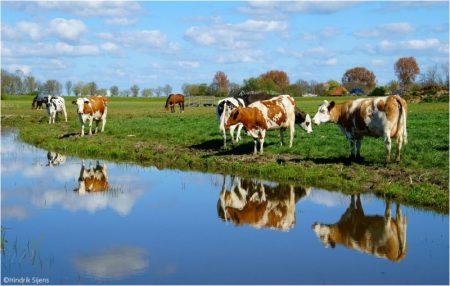 cows-23