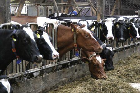 cows-552946_640