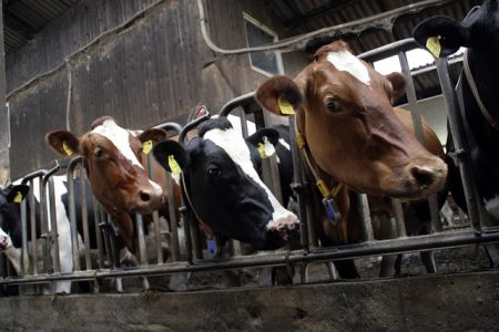 cows-552947_640