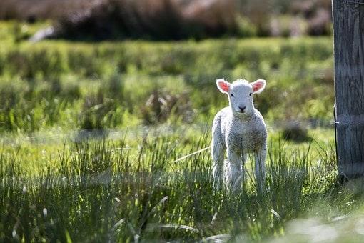 羊 min (1)
