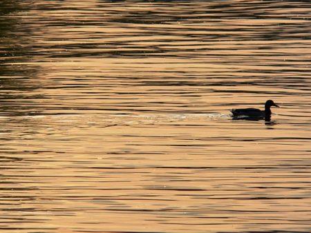 duck-185014_640
