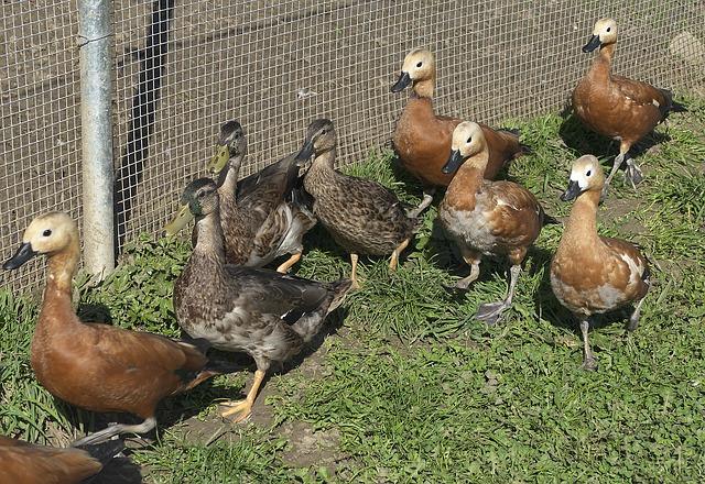ducks-2865933_640