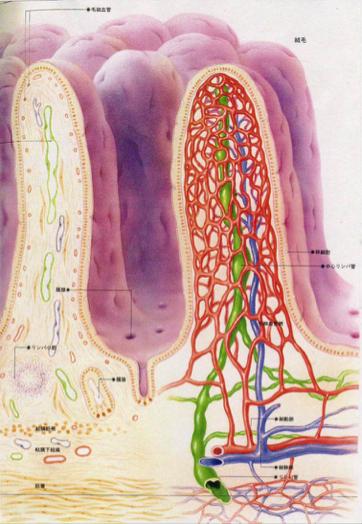 腸絨毛内部図