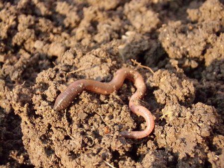 earthworm-686593_640