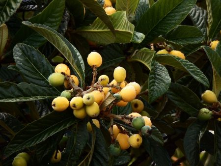 eriobotrya-japonica-3239850_640