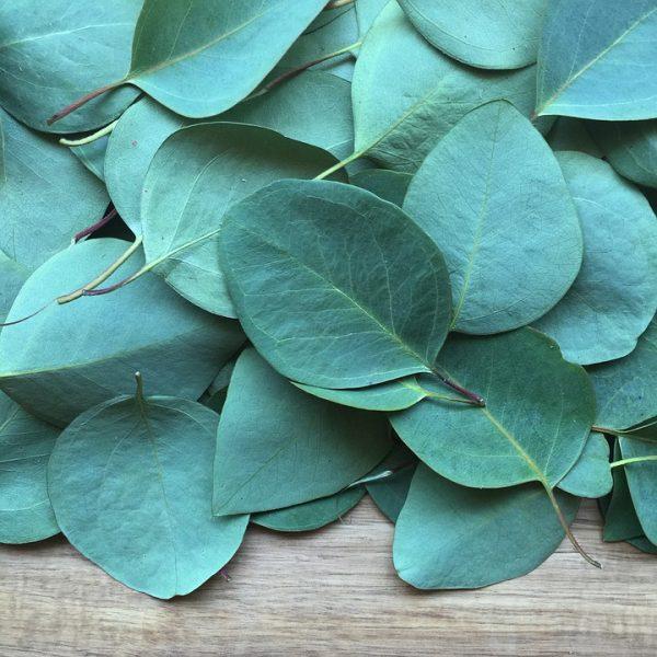 eucalyptus-2086785_960_720