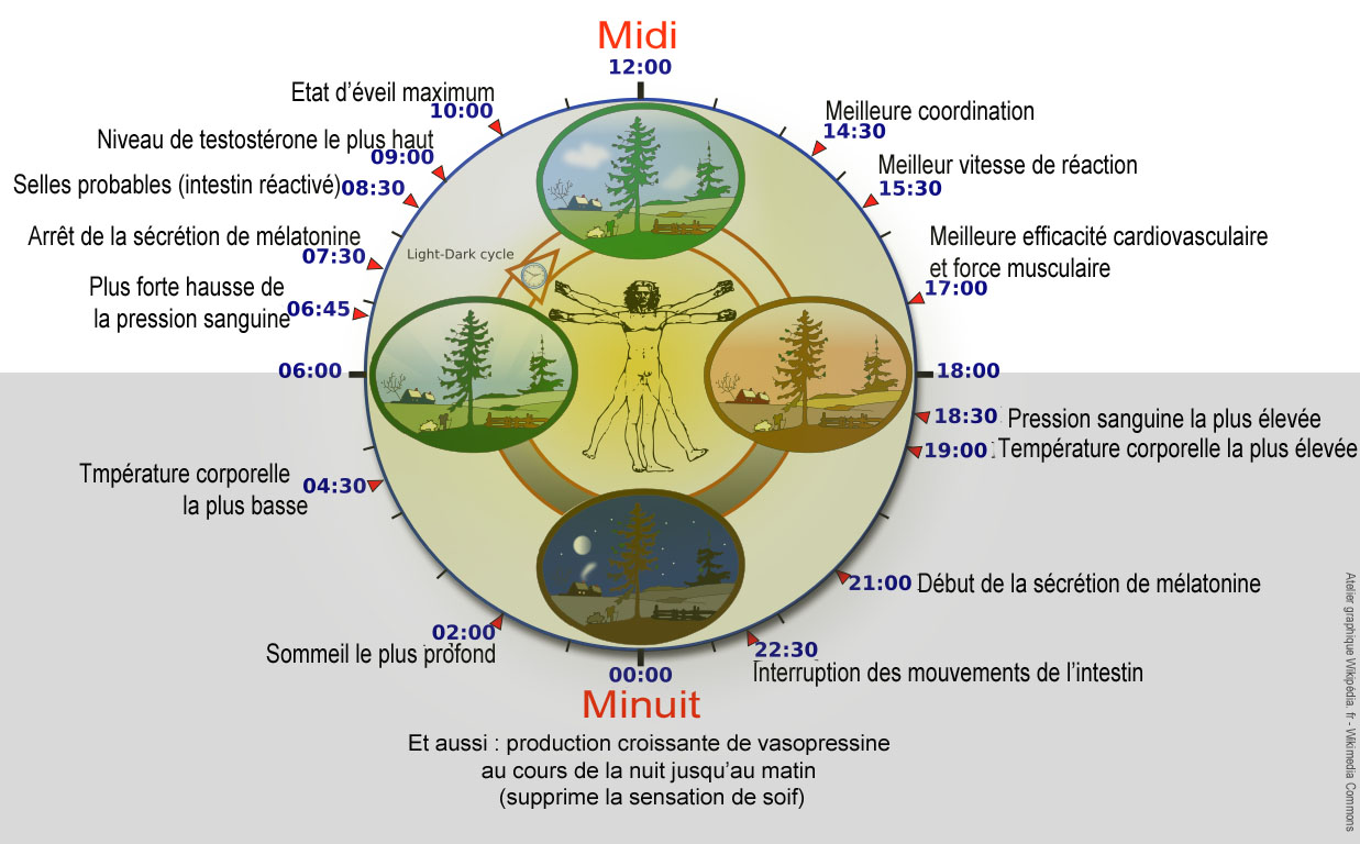 biological clock humannycthéméralfrenchversion
