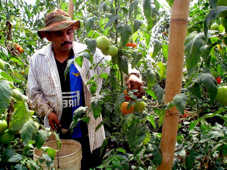 farmer-works-on-a-tomato-harvest-in-a-greenhouse-in-jayaque-la-libertad-southwestern-el-salvador-725x544