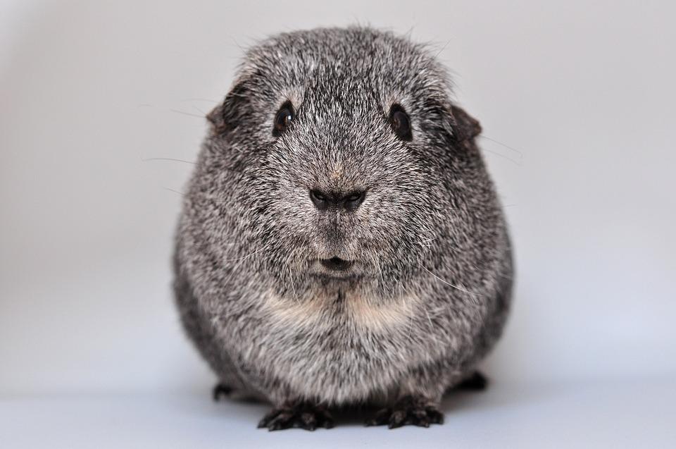 guinea-pig-640498_960_720