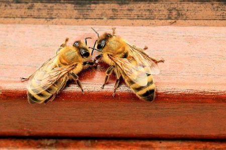 honey-bees-1568944__340