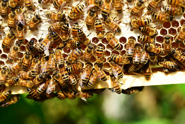 honey-bees-401238_640