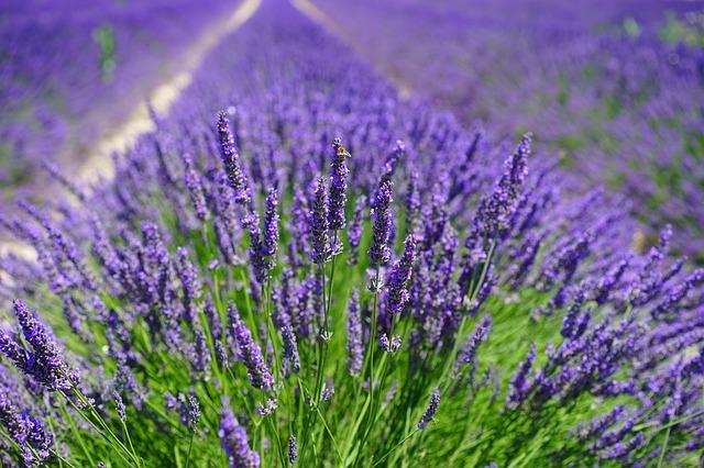 lavender-field-1595587_640