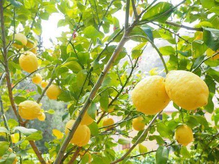 lemon-1117565_640